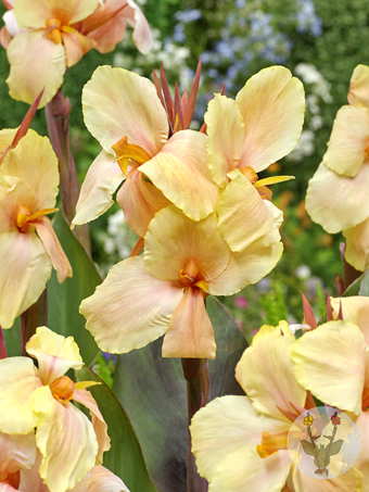 FA 16 0553 Canna Monique